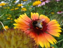 La abeja de la miel en la cabeza de flor amarilla y anaranjada del rudbeckia o de susan negro-observada recoge las flores del n?c foto de archivo libre de regalías