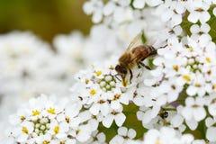 La abeja de la miel en el candytuft blanco florece macro Foto de archivo