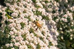 La abeja de la miel en el giganteum de Eriogonum del cordón del ` s del St Catherine florece Fotografía de archivo libre de regalías