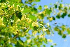 La abeja de la miel en el tilo floreciente florece en el día soleado en jardín Fotos de archivo