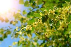 La abeja de la miel en el tilo floreciente florece en el día soleado en jardín Decaimiento de la planta con los insectos Imágenes de archivo libres de regalías