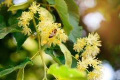 La abeja de la miel en el tilo floreciente florece en el día soleado en jardín Decaimiento de la planta con los insectos Fotos de archivo