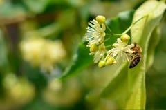 La abeja de la miel en el tilo floreciente florece en el día soleado en jardín Decaimiento de la planta con los insectos Fotos de archivo libres de regalías