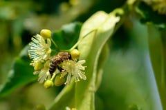 La abeja de la miel en el tilo floreciente florece en el día soleado en jardín Decaimiento de la planta con los insectos Imagenes de archivo