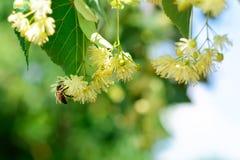 La abeja de la miel en el tilo floreciente florece en el día soleado en jardín Decaimiento de la planta con los insectos Imagen de archivo libre de regalías