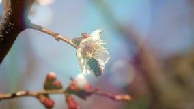 La abeja de la miel en la flor del albaricoque recoge el néctar almacen de metraje de vídeo
