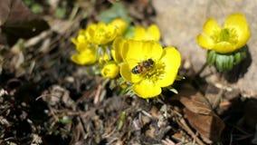La abeja de la miel en hyemalis del Eranthis del acónito de invierno florece almacen de metraje de vídeo