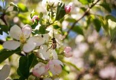 La abeja de la miel en jardín recoge el néctar de las flores del árbol floreciente Foto de archivo libre de regalías