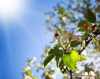La abeja de la miel en jardín recoge el néctar de las flores del árbol floreciente Fotos de archivo libres de regalías