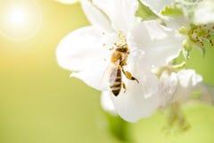 La abeja de la miel en una flor blanca y la recogida polen Abeja del vuelo Un vuelo de la abeja durante día de la sol insecto Imagenes de archivo