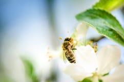 La abeja de la miel en una flor blanca y la recogida polen Abeja del vuelo Un vuelo de la abeja durante día de la sol insecto Fotografía de archivo libre de regalías