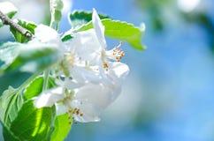 La abeja de la miel en una flor blanca y la recogida polen Abeja del vuelo Un vuelo de la abeja durante día de la sol insecto Imágenes de archivo libres de regalías