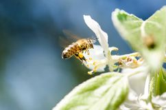 La abeja de la miel en una flor blanca y la recogida polen Abeja del vuelo Un vuelo de la abeja durante día de la sol insecto Fotos de archivo