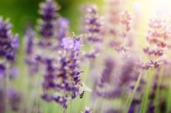 La abeja de la miel en una lavanda y la recogida polen Abeja del vuelo Un vuelo de la abeja durante día de la sol insecto El camp Foto de archivo libre de regalías