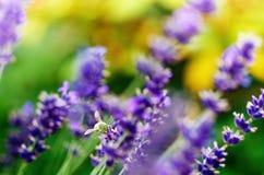 La abeja de la miel en una lavanda y la recogida polen Abeja del vuelo Un vuelo de la abeja durante día de la sol insecto El camp Imágenes de archivo libres de regalías