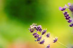 La abeja de la miel en una lavanda y la recogida polen Abeja del vuelo Un vuelo de la abeja durante día de la sol insecto El camp Fotos de archivo libres de regalías