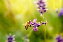 La abeja de la miel en una lavanda y la recogida polen Abeja del vuelo Un vuelo de la abeja durante día de la sol insecto El camp Imagenes de archivo
