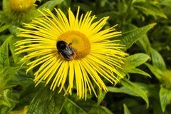 La abeja de la miel en una margarita amarilla le gusta la flor Fotografía de archivo