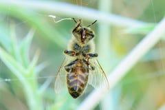 La abeja de la miel enredó en el primer de los web de araña imagenes de archivo