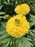La abeja de la miel está chupando el néctar de la flor del erecta de Tagetes Foto de archivo libre de regalías