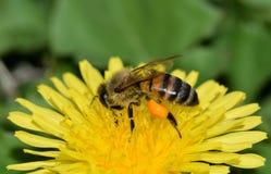 La abeja de la miel está ocupada el polinizar de una flor amarilla del diente de león Imágenes de archivo libres de regalías