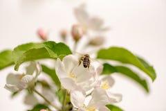 La abeja de la miel está recogiendo el polen en un manzano floreciente contra fondo blanco aislado imagen de archivo