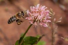 La abeja de la miel está recolectando el néctar de la flor del trébol Animales en fauna Fotos de archivo libres de regalías