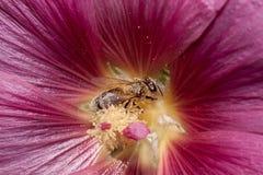 La abeja de la miel está recolectando el polen de una flor de la malva Animales en fauna Foto de archivo