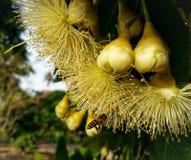 La abeja de la miel poliniza la flor amarilla en el prado de la primavera Imagen de archivo