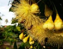 La abeja de la miel poliniza la flor amarilla en el prado de la primavera Fotos de archivo