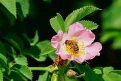 La abeja de la miel poliniza la flor rosada Fotos de archivo libres de regalías