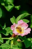 La abeja de la miel poliniza la flor rosada Imagen de archivo libre de regalías