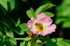 La abeja de la miel poliniza la flor rosada Imagenes de archivo