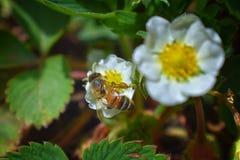 La abeja de la miel poliniza las flores de la fresa que florece en flor grande de la primavera en jardín de la cabaña en Jordania Imagen de archivo