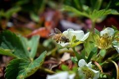 La abeja de la miel poliniza las flores de la fresa que florece en flor grande de la primavera en jardín de la cabaña en Jordania Imagen de archivo libre de regalías