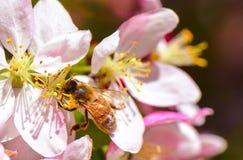 La abeja de la miel que chupa el néctar en orquídea rosada florece Imágenes de archivo libres de regalías