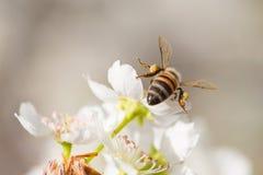 La abeja de la miel que cosecha el polen del árbol floreciente florece Foto de archivo