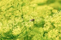 La abeja de la miel que recoge el polen del eneldo florece, creciendo en el GA Foto de archivo