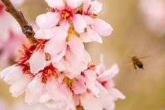 La abeja de la miel que recolecta el polen del árbol de almendra florece Imagenes de archivo