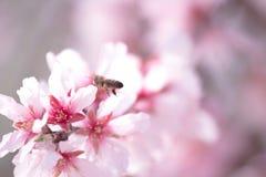 La abeja de la miel que recolecta el polen del árbol de almendra florece Foto de archivo libre de regalías