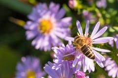 La abeja de la miel que se sienta en una flor Foto de archivo