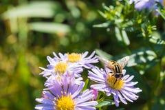 La abeja de la miel que se sienta en una flor Imagen de archivo libre de regalías