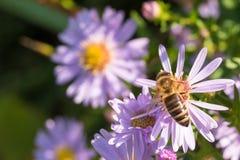 La abeja de la miel que se sienta en una flor Fotografía de archivo