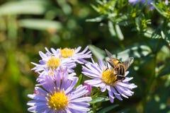 La abeja de la miel que se sienta en una flor Foto de archivo libre de regalías