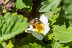 La abeja de la miel recoge la carga del polen o la pelotilla del polen de la fresa de las flores blancas Las fresas florecen los  Fotografía de archivo