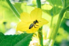 La abeja de la miel recoge el polen dentro de la flor del pepino Cierre para arriba Fotografía de archivo libre de regalías