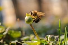 La abeja de la miel recoge el polen de la flor Tiro macro Fotografía de archivo