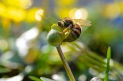 La abeja de la miel recoge el polen de la flor Tiro macro Foto de archivo libre de regalías