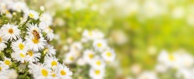 La abeja de la miel recoge el polen de los asteres de la flor blanca en un verde Fotografía de archivo