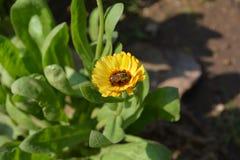 La abeja de la miel recoge granos del polen de las flores Fotografía de archivo